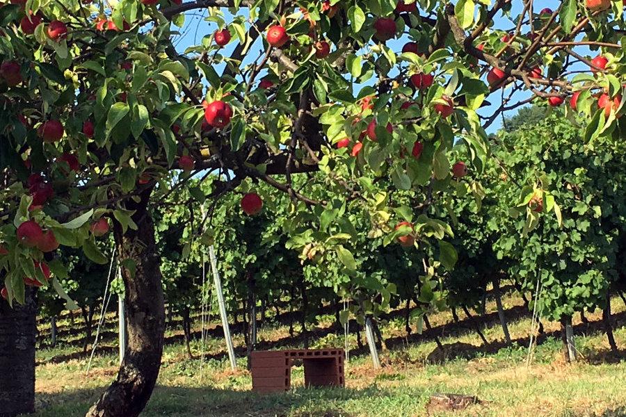 Apfelbaum und Weinreben - Bergstrasse